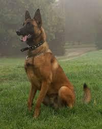 belgian sheepdog tattoo 392 best belgian shepherd images on pinterest belgian shepherd