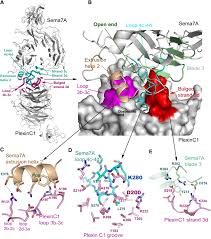 Scf Campus Map Structural Basis Of Semaphorin Plexin Recognition And Viral