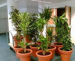 Plants For Office Indoor And Office Plants