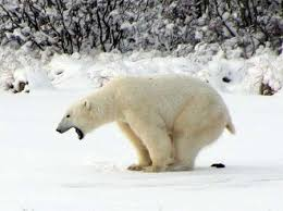 Dancing Bear Meme - dancing polar bear meme information keywords and pictures