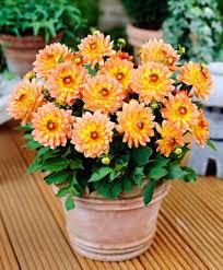 dalia in vaso come coltivare la dalia in vaso o in giardino tecnologia e