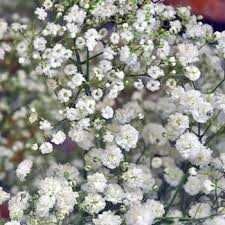 baby s breath breath combo pack