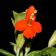 monkey flowers mimulus cardinalis scarlet monkeyflower cardinal monkey flower