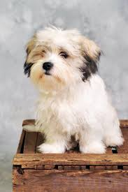 belgian shepherd gumtree 27 best dog breeds images on pinterest dog breeds small dogs