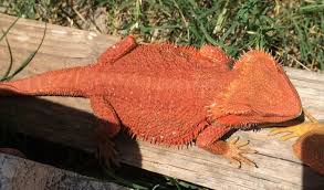 dunner bearded dragons sale
