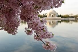 National Cherry Blossom Festival by National Cherry Blossom Festival Cbs Baltimore