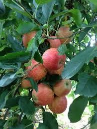 Blackmoor Fruit Trees - plum lizzie blackmoor nurseries purplishhhh pinterest gardens