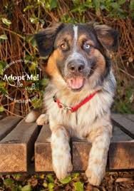 australian shepherd rescue san diego and friends tank is an adoptable puppy from aussie rescue san diego check out