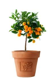 growing fruit trees in pots thriftyfun