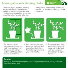 herb growing chart mint plant growth naplanete club