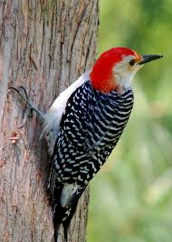 red bellied woodpecker the gilligallou bird store eastern