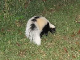 blue jay barrens skunk
