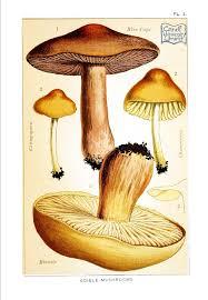 botanical mushroom edible and poisonous mushrooms edible