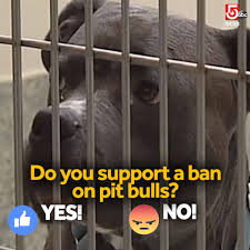 lilly the hero pit bull home facebook