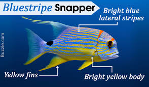 a visual guide on how to identify various types of snapper fish