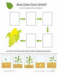 explore the life cycle of corn worksheet education com