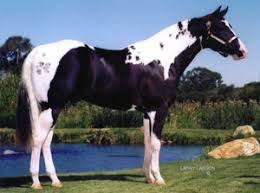 the american paint horse and quarter horse u201ccropout u201d controversy