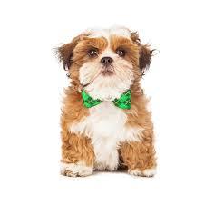 best american foxhound puppies dog breeds puppies definition of