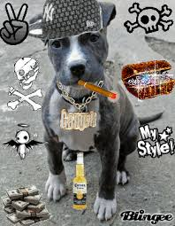 american pitbull terrier a legacy in gameness my pit bull has an evil smile pit bull poet laureate
