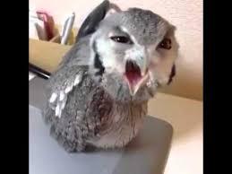 White Owl Meme - hey heeey angry owl original full vine youtube