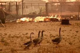 California Wildfire Animal Rescue by California Wildfire State Of Emergency U2013 82 000 Evacuate Homes