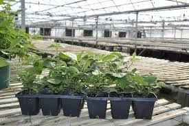 houseplant trellis which blackberry plants to trellis stark bro u0027s