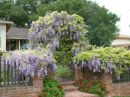 wisteria sinensis chinese wisteria world of flowering plants