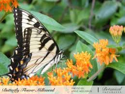 butterfly flower butterfly flower milkweed organic seeds botanical interests