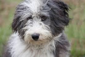 belgian sheepdog idaho cool shaggy dog breeds dog breeds puppies different breeds of