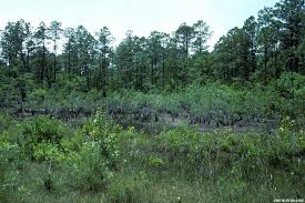 South Carolina vegetaion images Galleria carnivora carnivorous plant habitats jpg