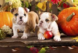 funny animal thanksgiving pictures thanksgiving wallpaper with puppies
