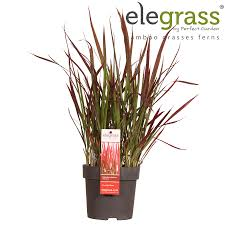 japanese baron grass imperata my garden