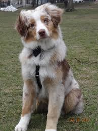 australian shepherd diseases clover my house pinterest australian shepherd dogs