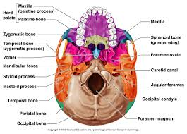 gallery brain structure bones human anatomy diagram