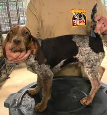 bluetick coonhound rabbit hunting started dogs for sale beagles on fire