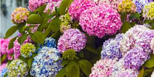 Hydrangea Flowers 13 Facts About Hydrangea Things Every Hydrangea Fan Needs To Know