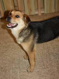 australian shepherd beagle mix shepherd hound mix laura williams