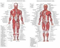 Male Body Anatomy Organs Human Body Posterior View Male And Female Anatomical Body Surface
