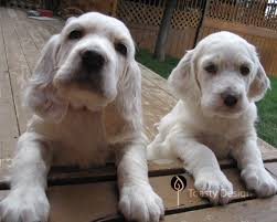 types of setter dog breeds all breeds dogs english setter dog