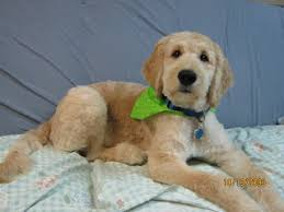 how to cut a goldendoodles hair image result for summer cut for goldendoodle pets pinterest