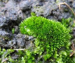 10 native plants types of moss solidaria garden