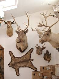 Hanging Rugs On A Wall Lion Rug Mounting Mountain Lion Coueswhitetail Com Discussion