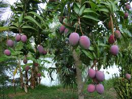 mango trees are so heavy with fruit everywhere in may on the