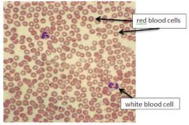 Structural Features Of White Blood Cells Hsc Biology Syllabus Dot Point Summary Maintaining A Balance