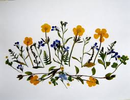 pressed flowers plants and pressed flowers buttercups minding my p s with q