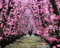 trees with pink flowers pink flower photography orchard tree photo tree