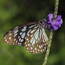 blue tiger sri lanka butterfly catalog
