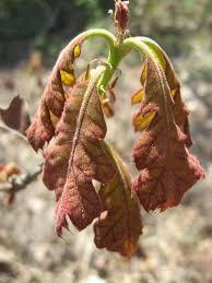 black oak a top 100 common tree in north america
