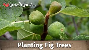 planting a potted fig tree organic gardening blog