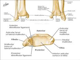 Talus Ligaments Anatomy Of Foot And Ankle